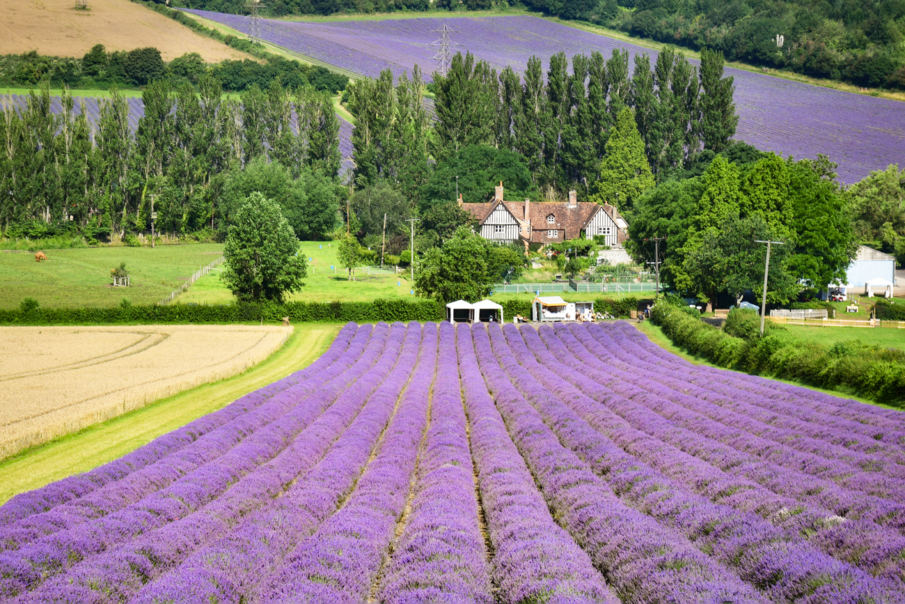 Champs de lavande en Angleterre © French Moments
